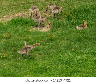 Goslings at play and eating, mother goose