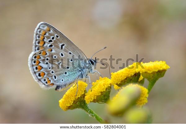 Gossamer-winged butterflies