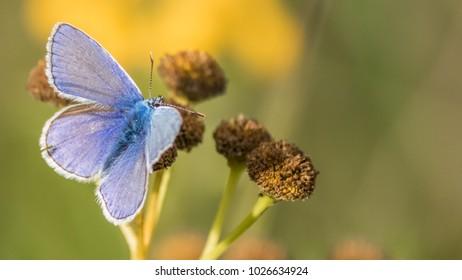 Gossamer-winged butterfly macro