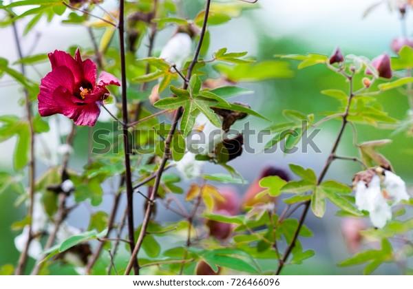 Gossypium arboreum TREE COTTON SEEDS!