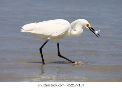 """Gotcha"" Snowy Egret at New Smyrna Beach, FL"