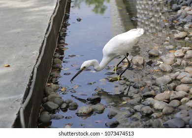 """Gotcha"",a little egret looking for fish or food in a small pond"