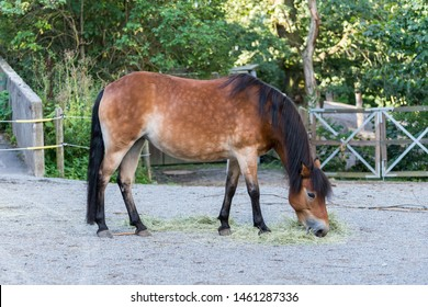 Gotland pony or Gotland russ is an old Swedish pony breed. Gotland ponies are claimed to descend from Tarpans that lived on the small island of Gotland that is on the South-Eastern coast of Sweden.