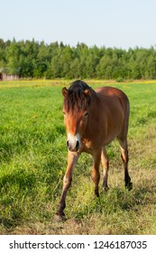 Gotland russ pony grazing in a green meadow