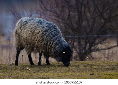 Gotland sheep on meadow, typical swedish breed of sheep in scandinavian nature