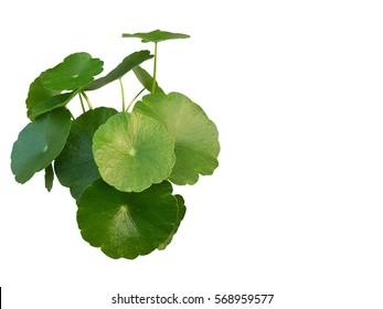 gotu kola, asiatic pennywort, centella asiatica, ayurveda herbal medicine ,leaf isolated on write background