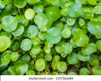 Gotu kola, Asiatic pennywort, Indian pennywort, Centella asiatica Urban, pattern in the shade of sunlight. An herb of the genus Hydrocotyle.