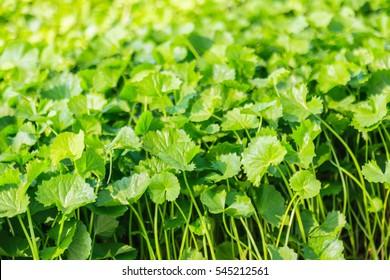 Gotu kola, Asiatic pennywort, Indian pennywort, green leaf background, Tiger Herbal