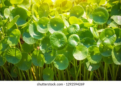 Gotu Kola, Centella Asiatica, Asiatic Pennywort, Hydrocotyle, Tiger Herbal, Indian pennywort (Apiaceae, Umbelliferae) in the herb garden
