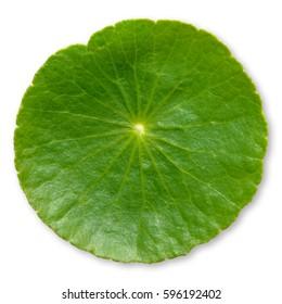 Gotu Kola, Centella Asiatica, Asiatic Pennywort, Hydrocotyle, Tiger Herbal, Indian pennywort (Apiaceae, Umbelliferae)