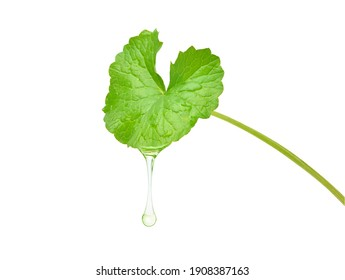 Gotu kola (Centella asiatica) essential oil dripping from fresh leaf isolated on white background. Clipping path.