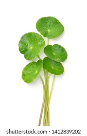 Gotu kola (Centella asiatica) leaves with water drops isolated on white background. (Asiatic pennywort, Indian pennywort)