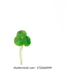 Gotu kola or Centella asiatica leaves with isolated on white background, green Asiatic pennywort or Indian pennywort anti-aging and herbal concept.