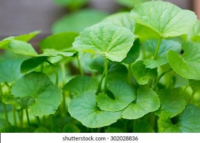 gotu kola leaf
