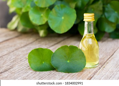 Gotu Kola leaves (Asiatic pennywort, Indian pennywort, Centella asiatica) and bottle of essential oil extract isolated on old wood table background. Tropical medical herbal plant concept.