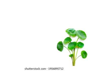 Gotu Kola leaves ( Asiatic pennywort, Indian pennywort, Centella asiatica ) isolated on white background. Medical herbal plant