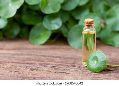 Gotu Kola leaves ( Asiatic pennywort, Indian pennywort, Centella asiatica ) and bottle of essential oil extract isolated on old wood table background.