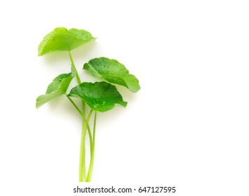 Gotu kola's leafs on white background