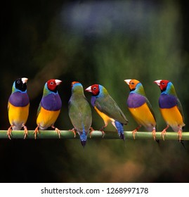 gouldian finch in birdcage