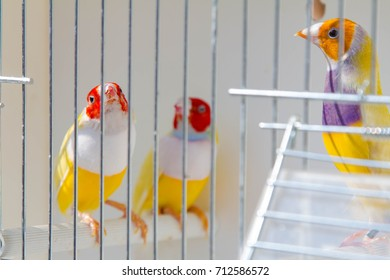 Gouldian finch in the cage