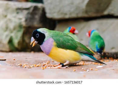 The Gouldian finch (Erythrura gouldiae), also known as the Lady Gouldian finch, Gould's finch or the rainbow finch, is a colourful passerine bird endemic to Australia.
