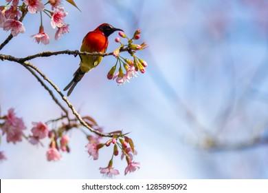 Gould's Sunbird The Beautiful Birds of Thailand on a Wild Himalayan Cherry (Prunus cerasoides)