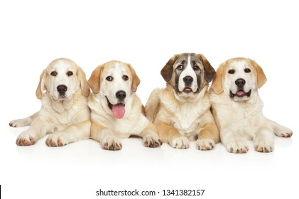 Gounp of Central Asian Shepherd dogs posing on white background. Animal themes