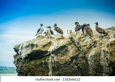 Goup of blue footed boobies on a rock, in Pedernales