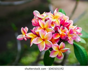 A goup of Plumeria flowers