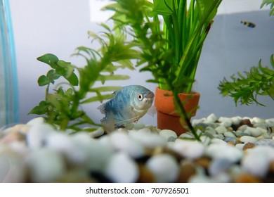 Gourami fish in aquarium