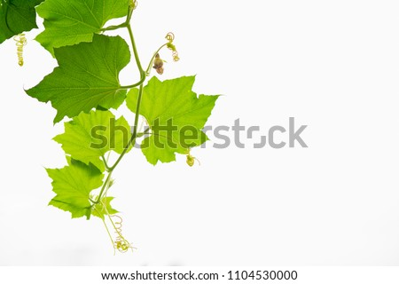 Gourd leaves or ivy gourd is an Asian vegetable showing leaf texture isolated,copy space.