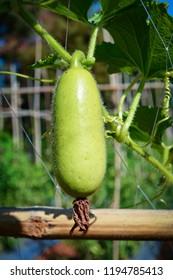 Gourd vegetable / Tree of bottle gourd hanging on the vine bottle gourd plant / Calabash gourd - Lagenaria siceraria