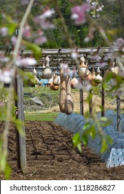 Gourds of various sizes and shapes are hanging to dry from a wooden trellis. Flowers on a fruit tree are in the foreground; behind is forest.