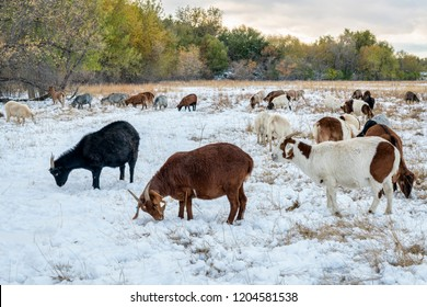 gout grazing along the Poudre River in one of natural areas in Fort Collins, Colorado, gouts are supposed to emulate natural bison grazing
