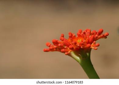 Gout Stalk or Jatropha podagrica, Rhubarb, Buddha belly plant, bottleplant shrub, gout plant, purging-nut, Guatemalan rhubarb, and goutystalk nettlespurge