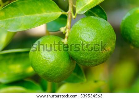 Grab Bunch Lime Greencloseup Green Lemons Stock Photo (Edit Now