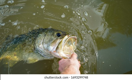 Grabbing largemouth bass by lip. Releasing it after a successful catch.