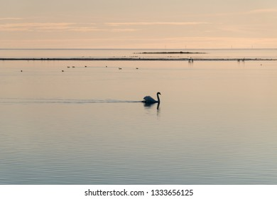 Graceful and beautiful Mute Swan swimming in absolutely calm water in the evening at the swedish island Oland
