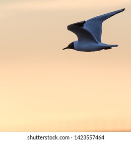 Graceful Black Headed Gull in flight by a colored sky