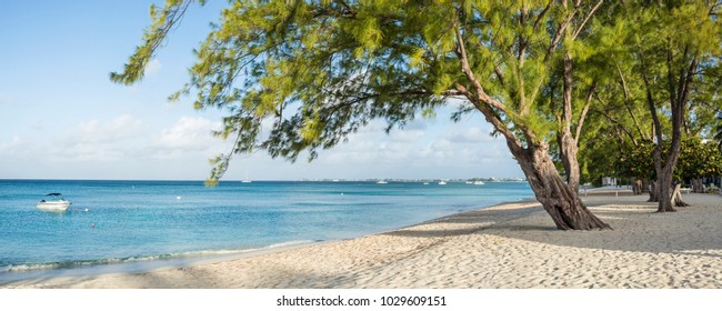 Graceful Casuarina Pine Trees on Seven Mile Beach on Grnd Cayman, Cayman Islands.