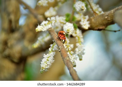 Graceful Coccinellidae couple mating on the branches of Commiphora myrrha among the flowers