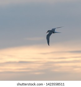 Graceful Common Tern, Sterna hirundo, in flight by twilight time