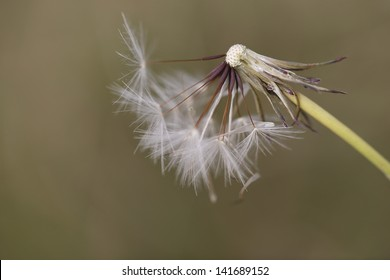 A graceful dandelion just before the last seeds blow away. Sepia toned image of the remains of seedlings on a dandelion head.