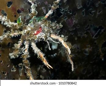 Graceful Decorator Crab (Oregonia gracilis)