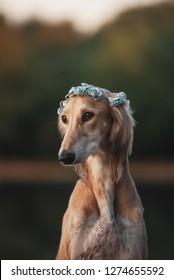 graceful dog saluki with flower wreath