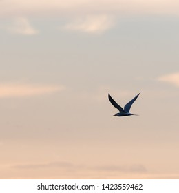 Graceful flight, Common Tern, Sterna hirundo, by a colored sky at twilight time