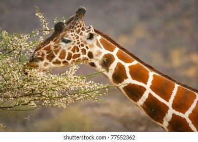 Graceful giraffe eating branch of the tree , Samburu, Kenya