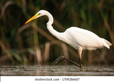 Graceful great egret, ardea alba, walking in marsh with one leg above surface and water droplet dripping down. Elegant large white bird moving in nature from low angle side view.