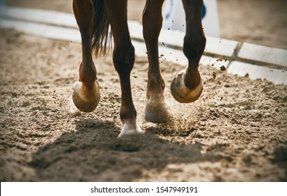 The graceful legs of a Bay unshod horse galloping across a sandy arena raise dust in the bright sunlight.