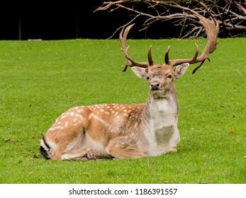 Graceful looking stag male deer with beautiful horns in a Danish park in Aarhus